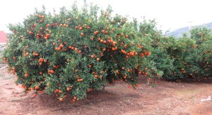 el-almuerzo-ideal-para-la-oficina-mandarinas-clementinas-naranja-riberadeljucar