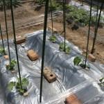 「家庭菜園」メロン栽培2015年5月