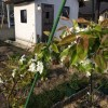 「庭で梨・リンゴ栽培」栽培2年目