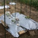 「家庭菜園」メロン栽培2016年5月