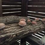 「椎茸栽培」原木栽培の基礎とほだ木の作り方