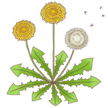 春の花1/タンポポ・カラー(桃の節句・ひな祭り)/花イラスト/お花と季節のお礼状