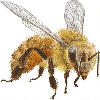 西洋蜜蜂(せいようみつばち)/ハチのイラスト・条件付フリー素材集