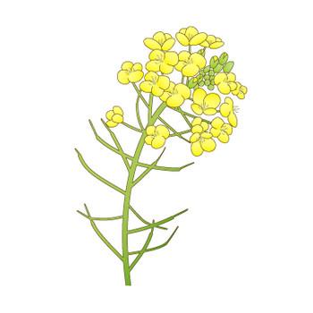 幼稚園児のイラスト・絵カード:菜の花のイラスト