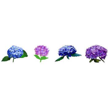 紫陽花(あじさい)のイラスト素材フリー/商用利用も可能な無料イラスト