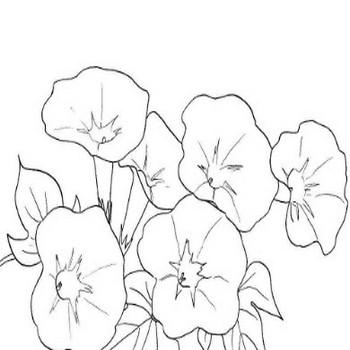 8月1日の誕生花ー朝顔の下絵