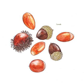どんぐり 多種|秋 木の実 ドングリ | フリーイラスト素材 コムマール-sozai-