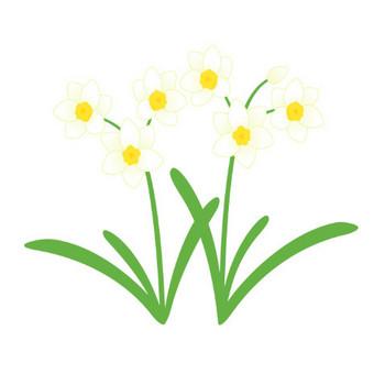 水仙(スイセン) / Narcissus