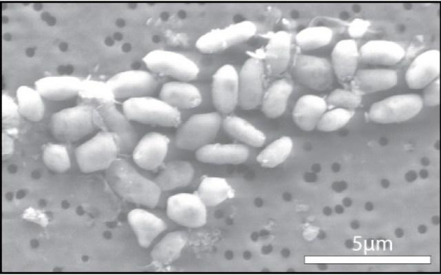 arsenic bacteria