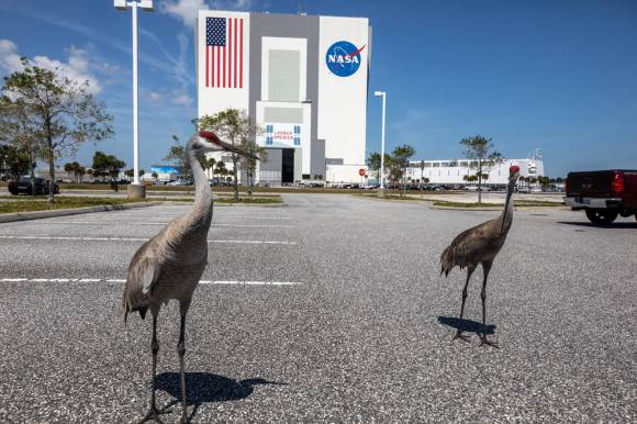 Sandhill cranes are photographed in front of the Vehicle Assembly Building at Kennedy Space Center.