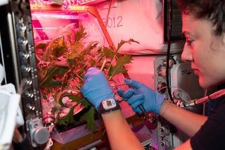 astronaut Jessica Meir harvesting leafy greens inside the space station