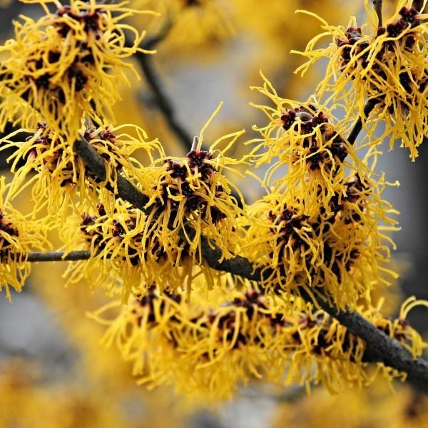 A closeup of a Witch Hazel branch