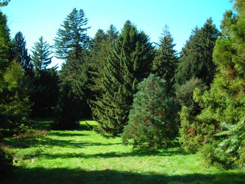 Climate changing conifers