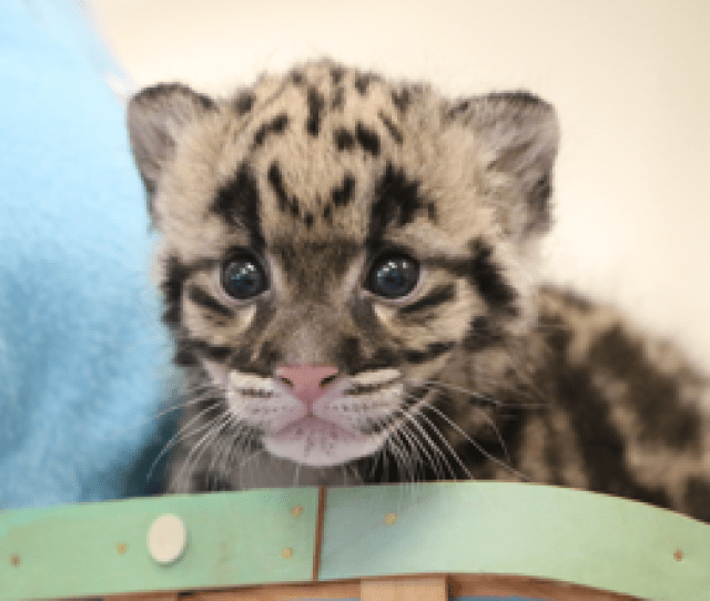 Female Clouded Leopard Cub Born At Nashville Zooanimal News Conservation Zoo Newstuesday March 27 2018