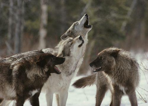 Почему волки воют?