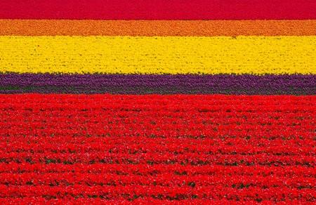 Тюльпанное поле, Голландия