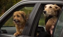 Köpekler Seyahat Etmekten Hoşlanır Mı?