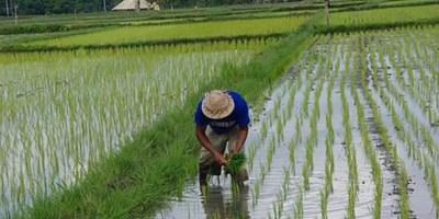 Pirinç Nasıl Ekilir Ve Hasat Edilir?