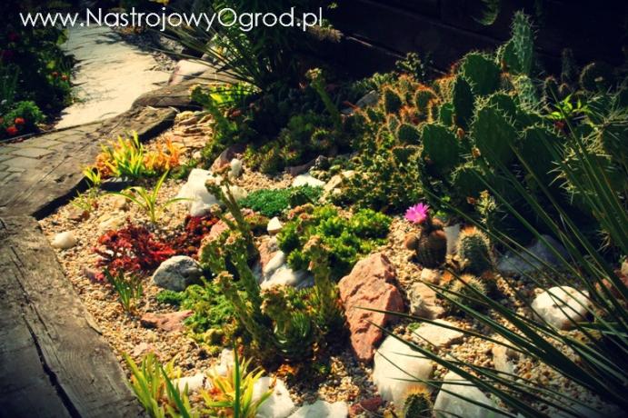 kaktusy-w-ogrodzie-6