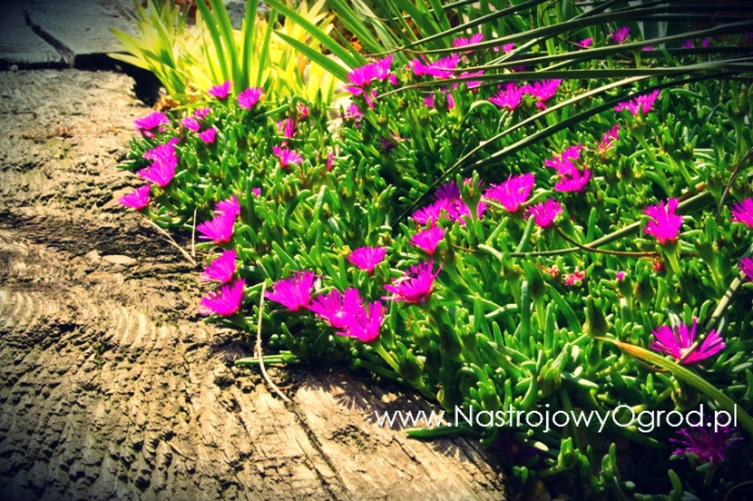 kaktusy-w-ogrodzie-7