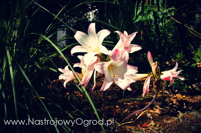 naga-lilia-Lycoris squamigera-3
