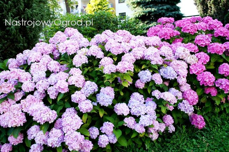 kwiaty-ogrodowe-wieloletnie-1