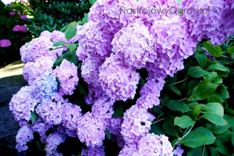 kwiaty-ogrodowe-wieloletnie-11