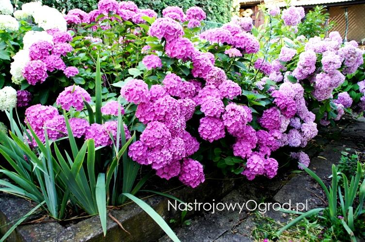 kwiaty-ogrodowe-wieloletnie-13