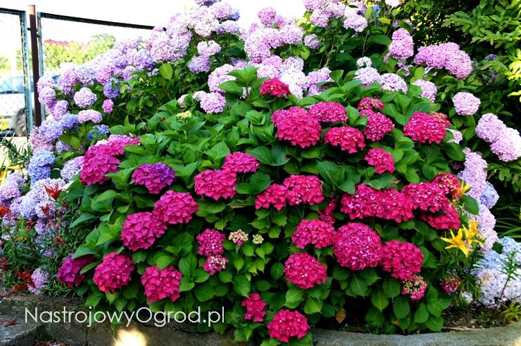 kwiaty-ogrodowe-wieloletnie-15