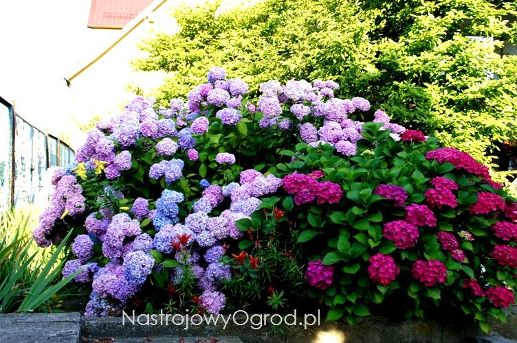 kwiaty-ogrodowe-wieloletnie-16