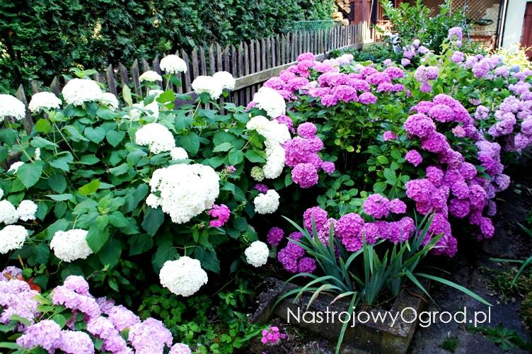 kwiaty-ogrodowe-wieloletnie-3