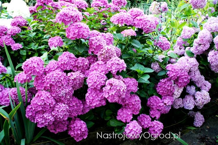 kwiaty-ogrodowe-wieloletnie-6