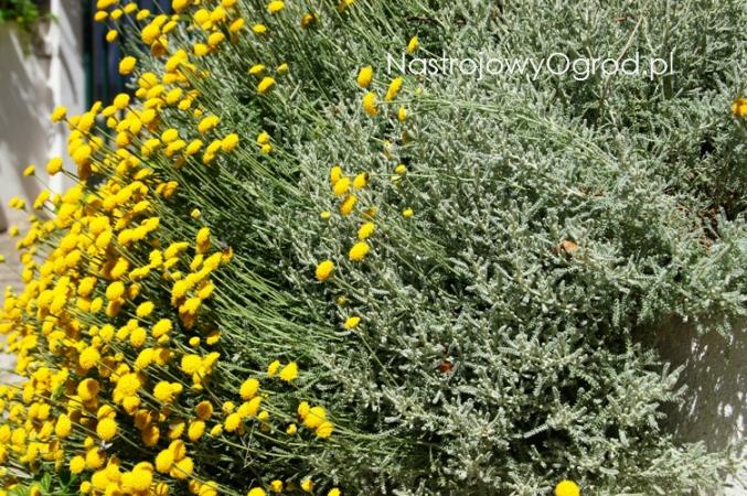 santolina-chamaecyparissus-3