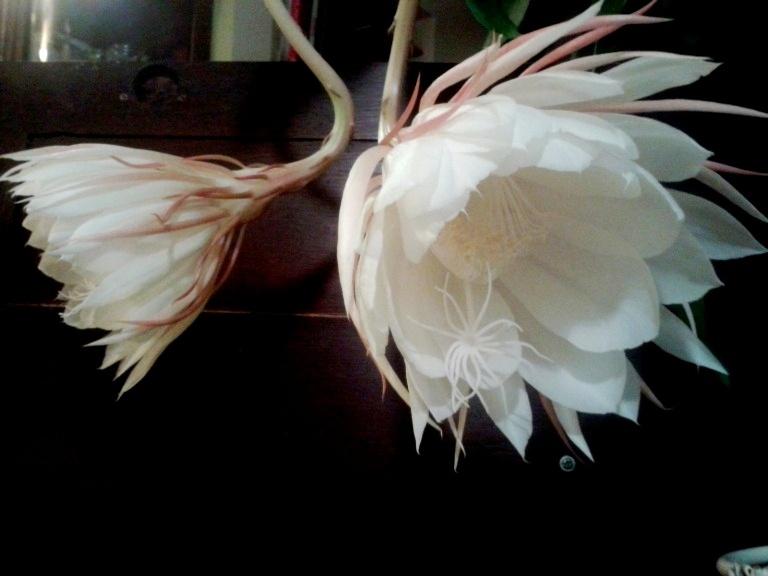 Epiphyllum-Oxypetalum-4