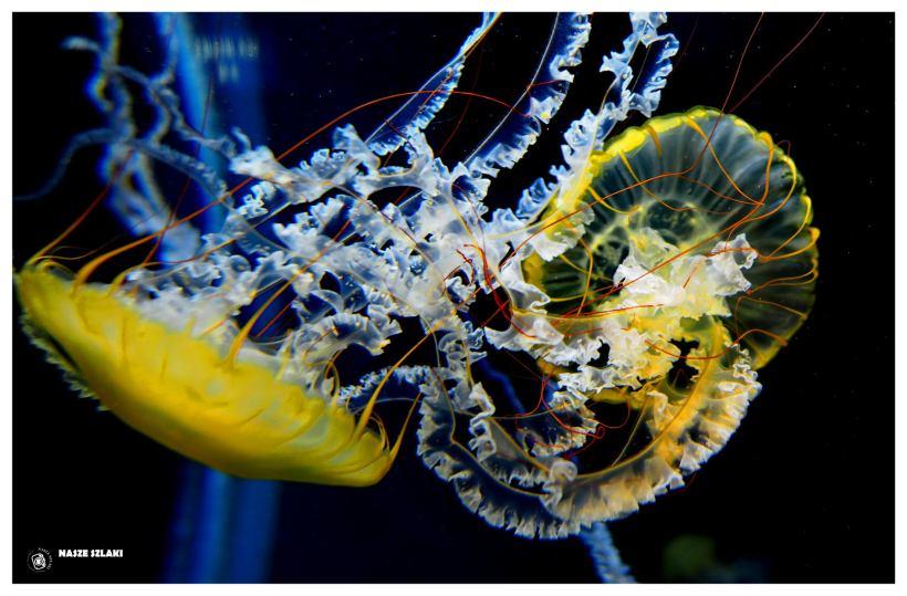 Meduza, jedna z atrakcji oceanarium w Singapurze S.E.A Aquarium Marine Life Park Singapur Santosa