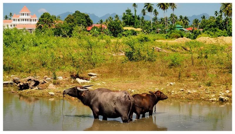 Azja - Wyspa Langkawi w Malezji. Pola ryżowe w nie turystycznej części wyspy. Bawoły w rzece.