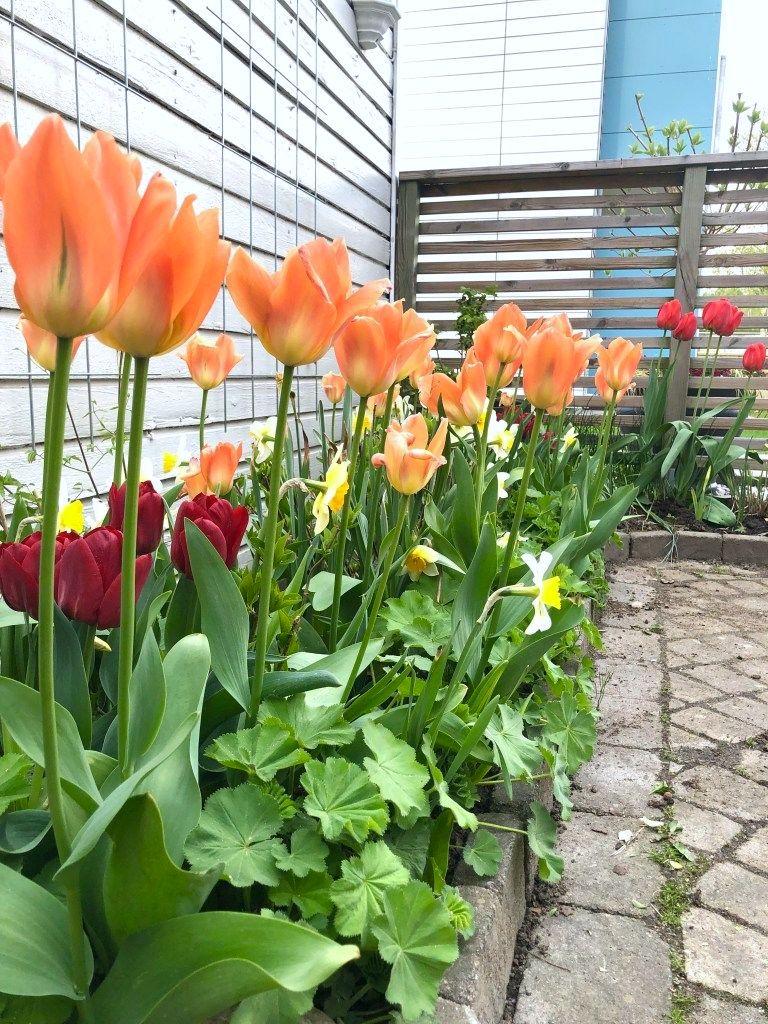 Tulpan Orange Breeze pingstlilja Sempre Avanti - Natalia Lindberg Trädgårdsdesign