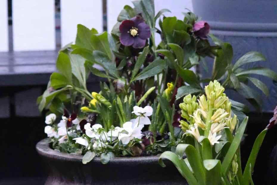 vårkrukor julros penseer hyacint narcisstrccister