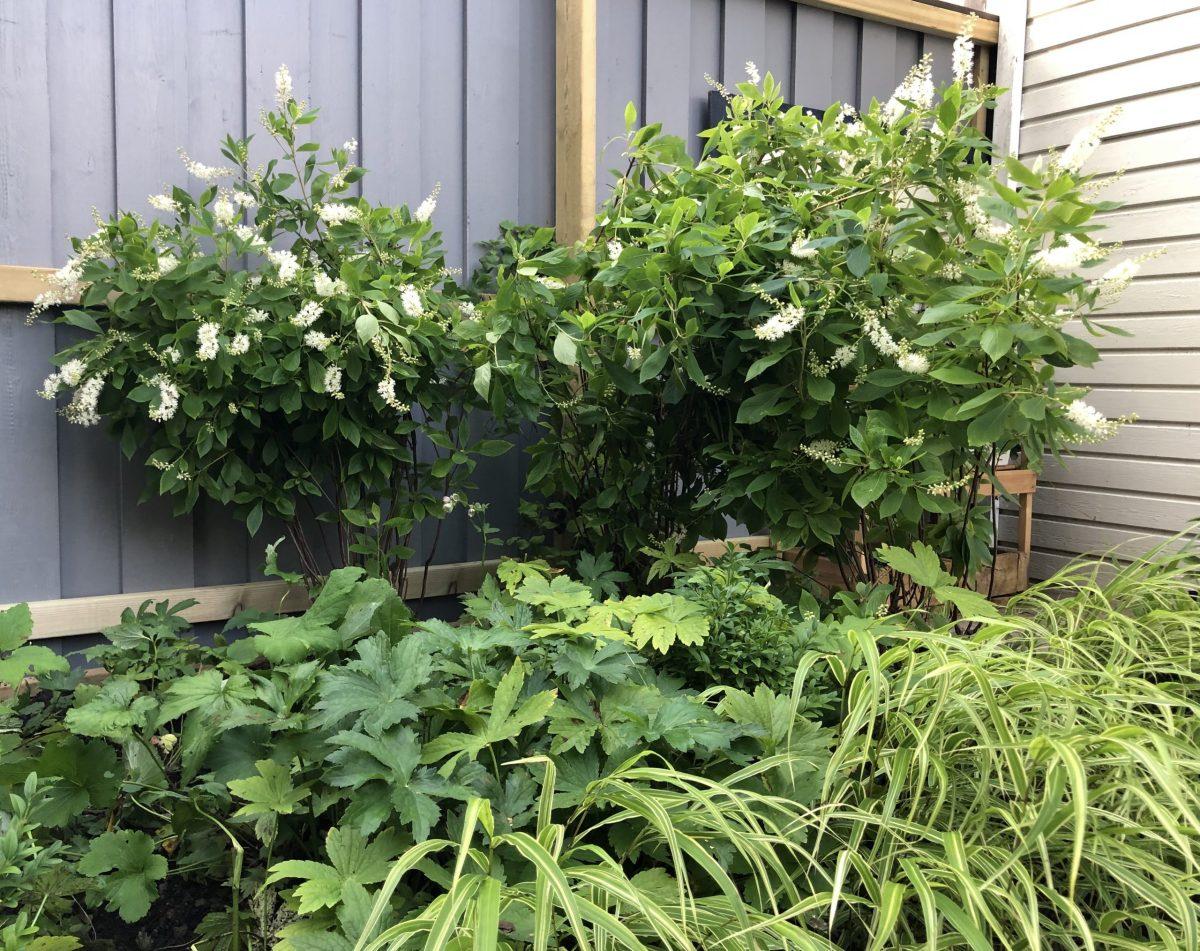 Natalia Lindberg Trädgårdsdesign - Clethra alnifolia konvaljbuske
