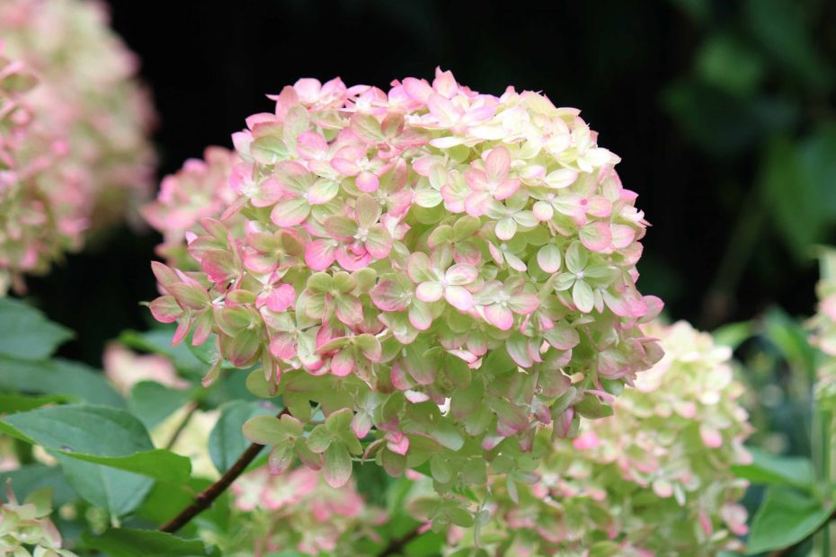 Natalia Lindberg Trädgårdsdesign - augustiljus i trädgården hortenisa little lime höstsilverax hakonegräs
