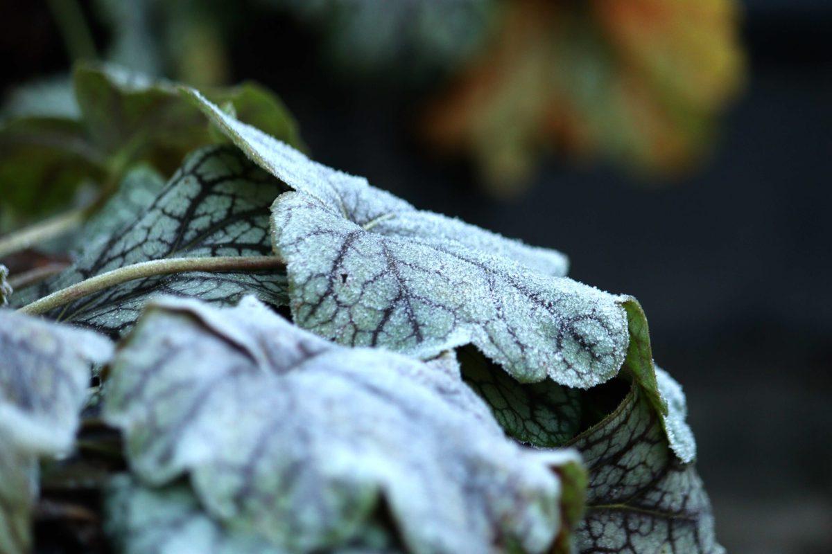 Natalia Lindberg trädgårdsdesign - jalunrot green spice frost