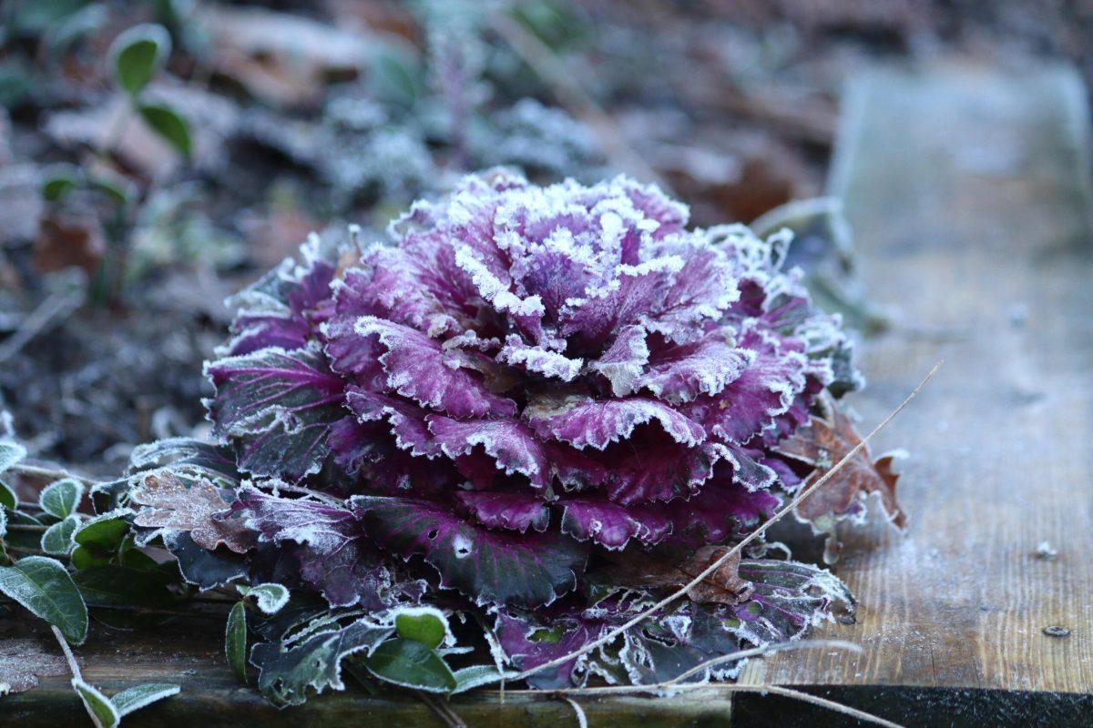 Natalia Lindberg trädgårdsdesign - kål lila frost