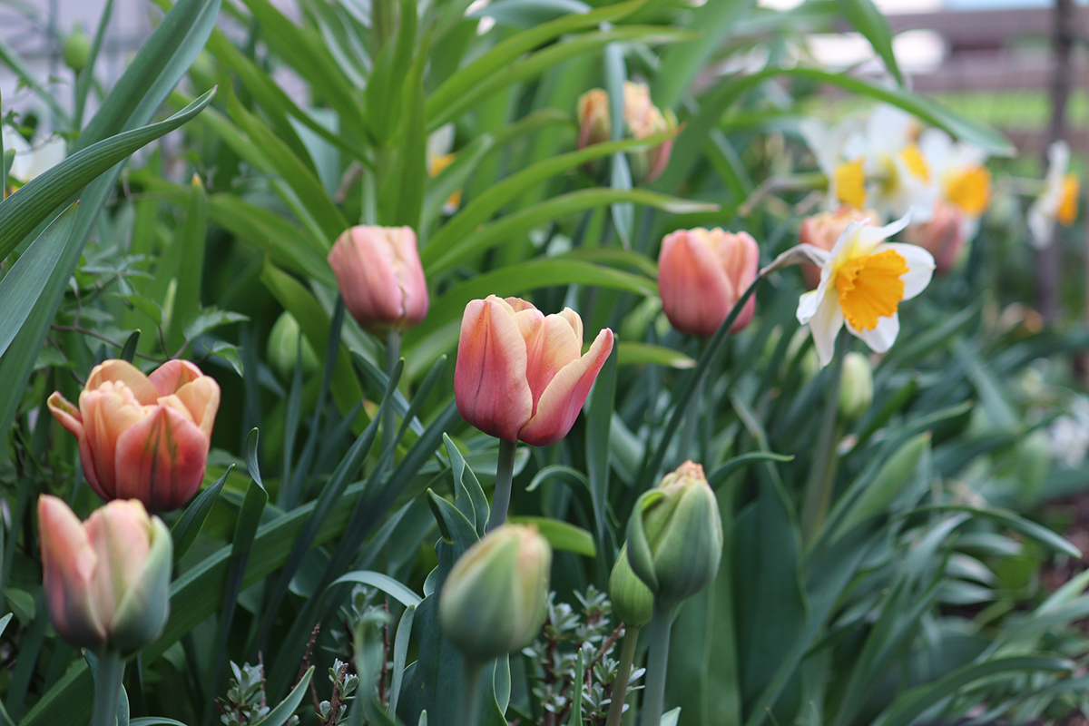 Tulip La Belle Epoque - Natalia Lindberg Trädgårdsdesign