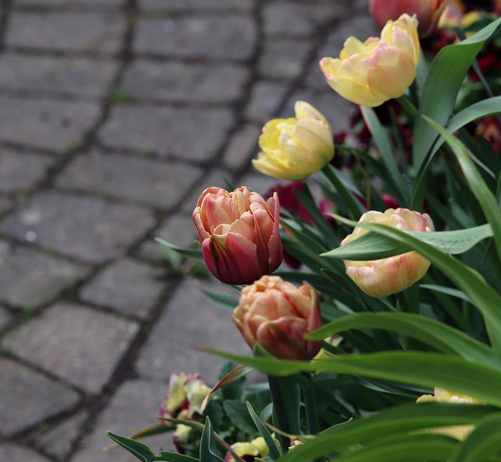 Tulpanmix 'La Belle Epoque' och Tulpan 'Creme Upstar' - Natalia Lindberg trädgårdsdesign