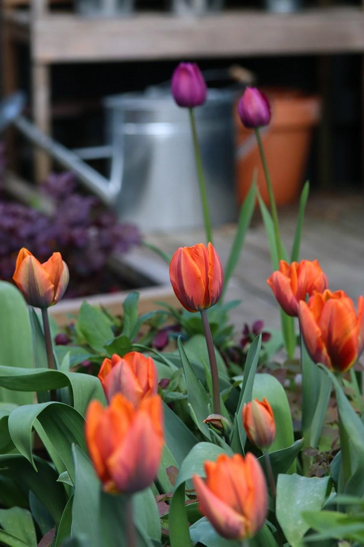 tulip princess irene alunrot plum pudding- Natalia lindberg trädgårdsdesign