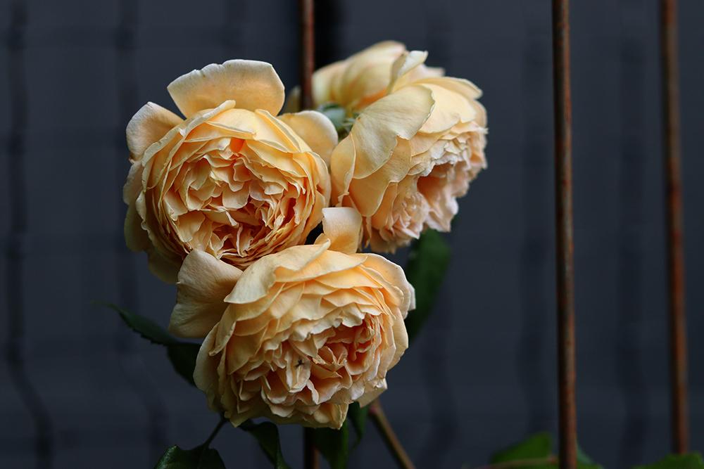 David austin rose graham thomas blomms Natalia Lindberg Trädgårdsdesign