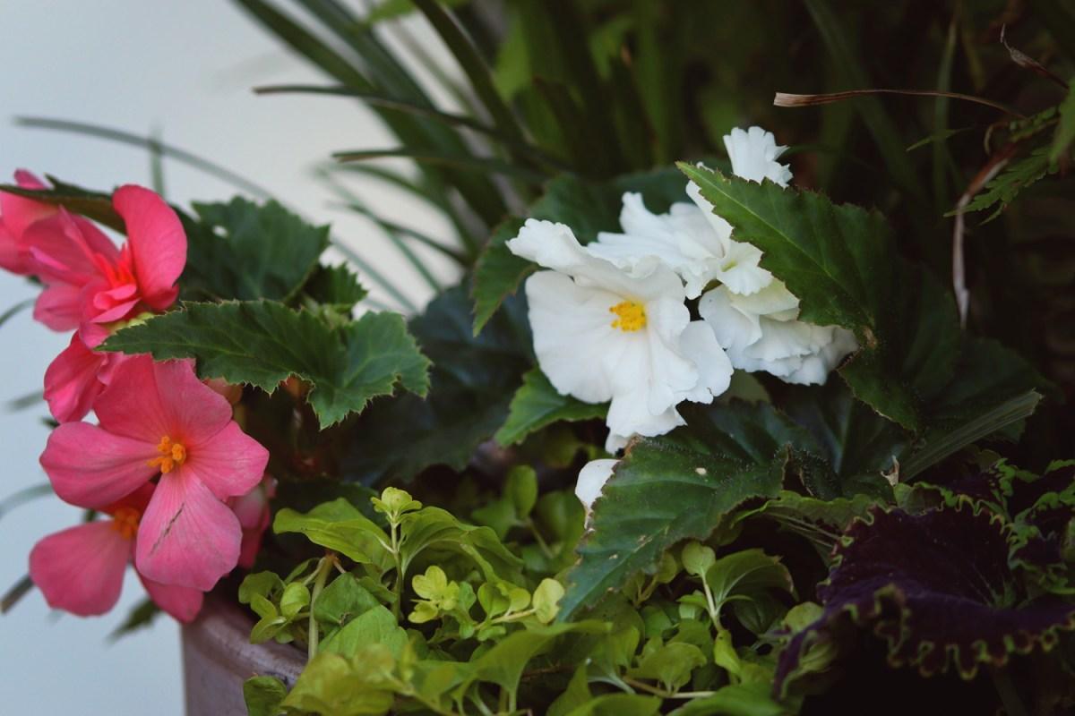 begonior - natalia lindberg trädgårdsdesign