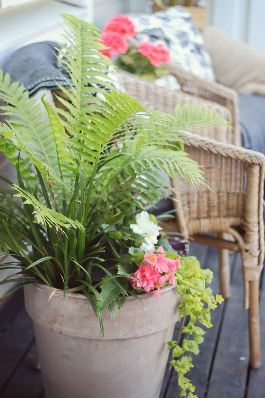 Ormbunke Strutkräken, Carex irish green, Penningblad Begonior - natalia lindberg trädgårdsdesign