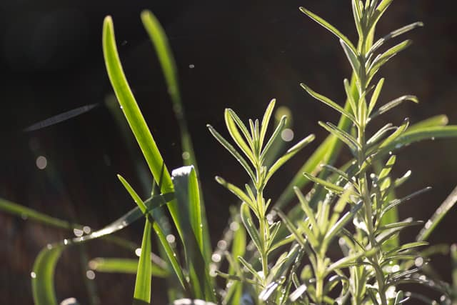 rosemary and chives growing in a garden in the morning light