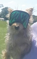 Toto, owned by Virginia Williams, wore protective eyewear on the day of the eclipse.